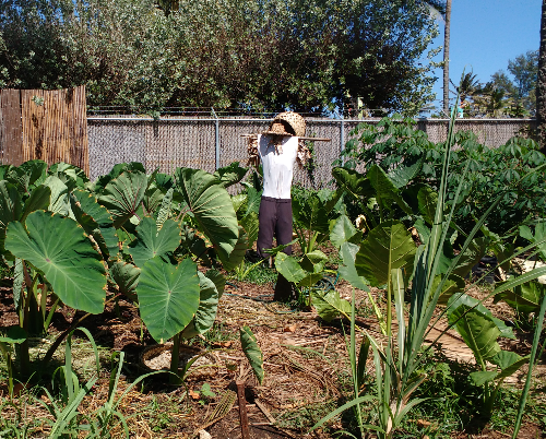 Growing taro at the Polynesian Cultural Center, a Samoan tradition