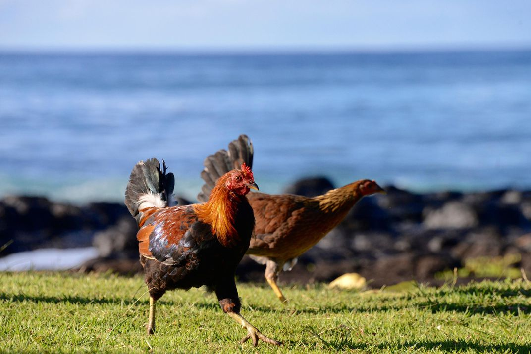 photo of chickens by the beach in Hawaii