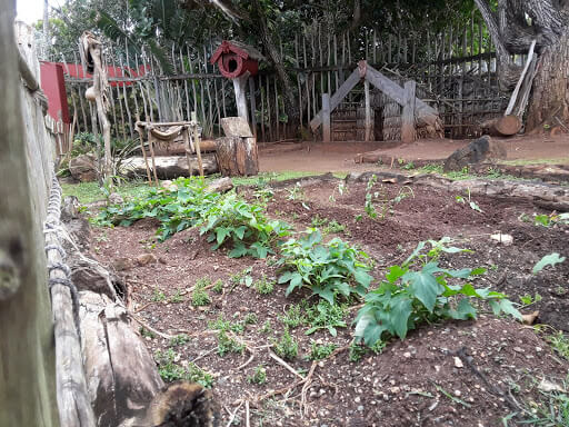 Sweet potatoes growing the the Maori Village at the Polynesian Cultural Center