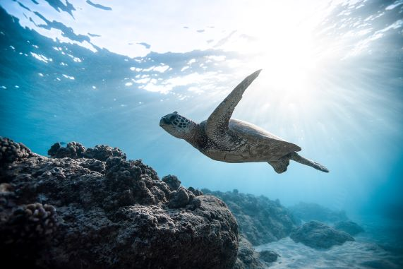 turtle or honu swims in the waters surrounding all of the Hawaiian islands
