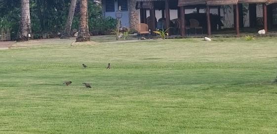 Birds in village