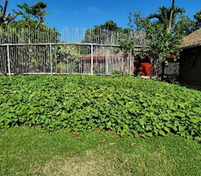 Aotearoa1 - kumara garden