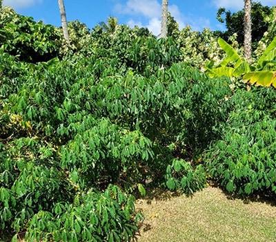 Fiji 2 - Tapioca Manioca