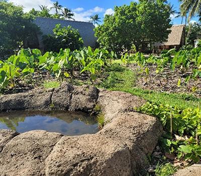 Hawaii 2 - Mature and new kalo