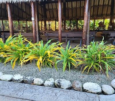 Samoa1 -bright yellow lily plant