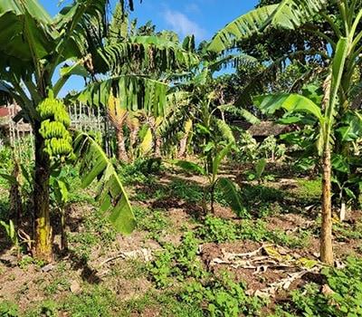 Samoa2 - banana trees