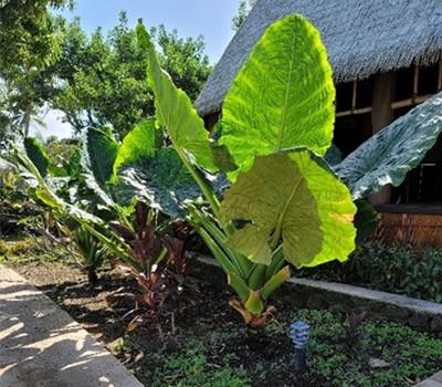 Tonga 2 - giant taro kape